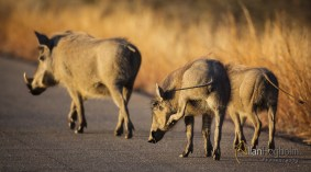 A warthog family walking on the road in Kruger National Park