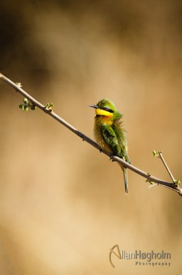 Bee eater from Kruger National Park in South Africa