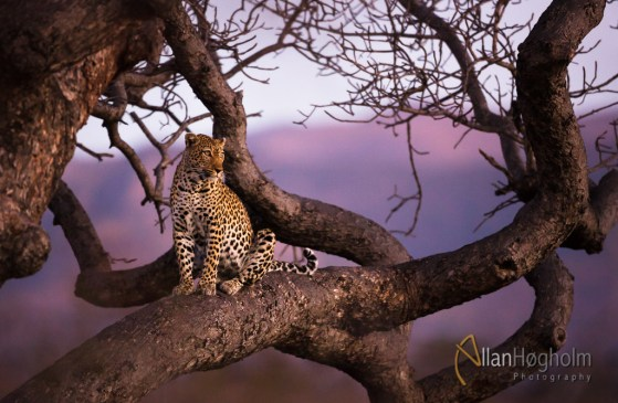 A young leopard from Kruger National Park in South Africa. I got this picture 20 minutes before we were going back home.
