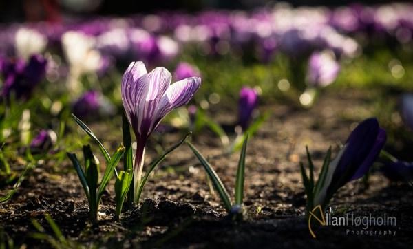 Forårs blomster i Rådhusparken ved Aarhus Rådhus 2015