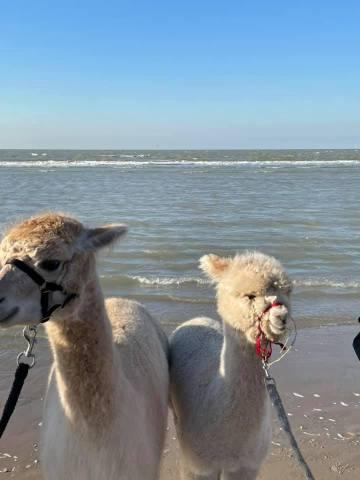 Privé wandeling met alpaca's
