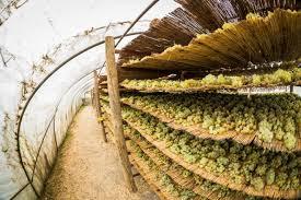 secaderos de uva