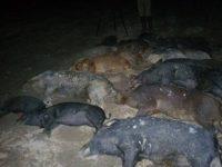 hog hunting trip