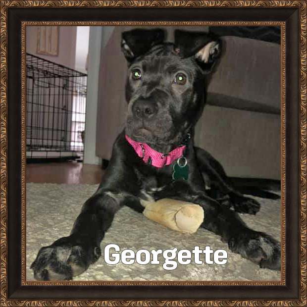Georgette - HOH Adoptable Dog