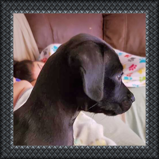 adoptable black puppy lab