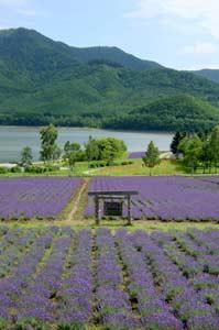 かなやま湖畔ラベンダー園:南富良野
