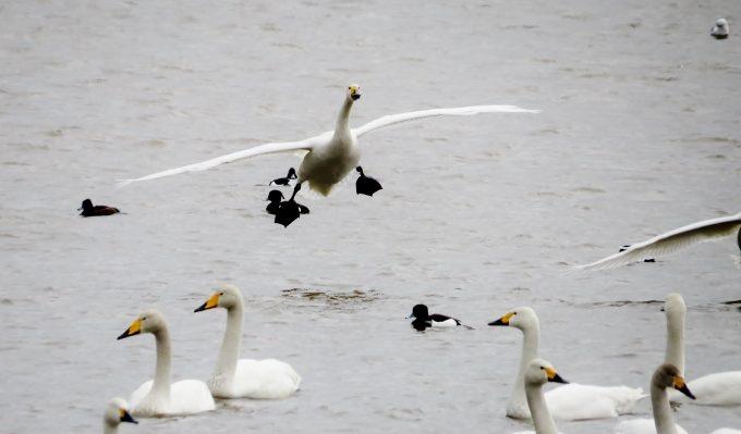大沼の景色、宗谷ふれあい公園、白鳥の大群!【稚内市】/のほほん北海道