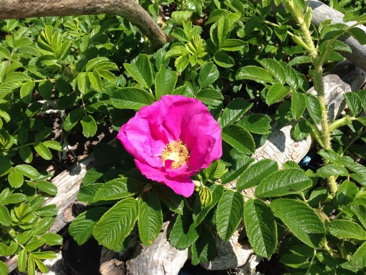知床岬で実際に撮影したハマナスの花(撮影協力/NPO法人しれとこラ・ウシ)