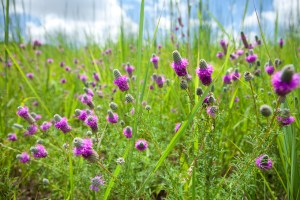 Purple Prairie Clover Field