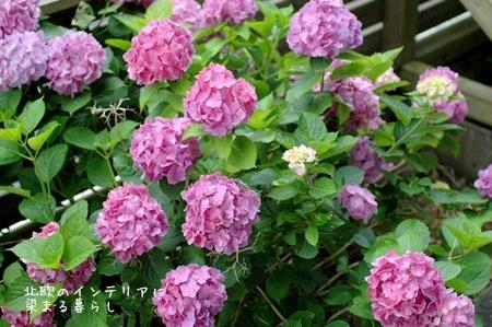 北欧スタイルにもあう庭の紫陽花