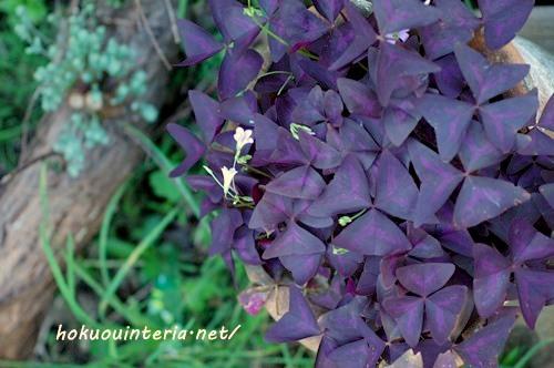 紫のクローバー