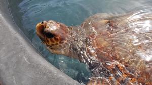 Aufzuchtstation für Meeresschildkröten in Morro Jable
