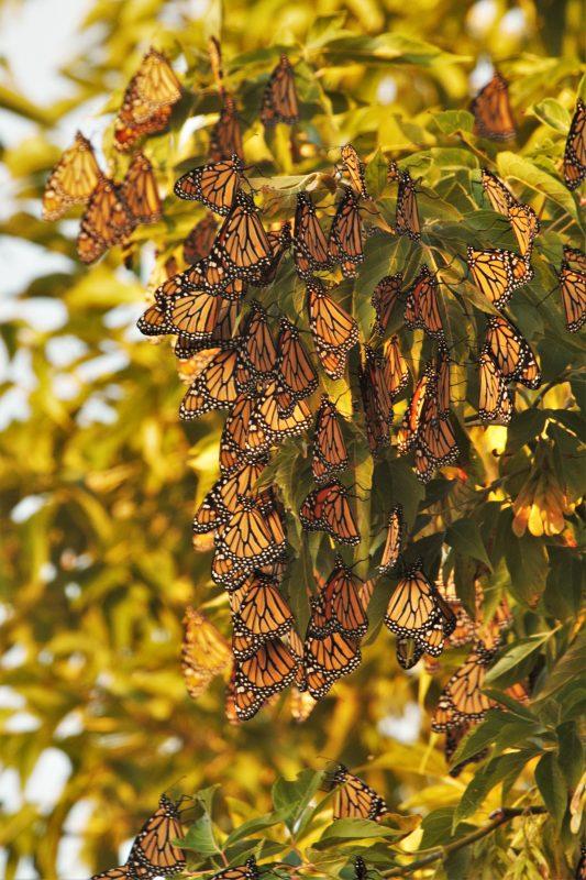 """Roosting """"frozen"""" monarchs"""