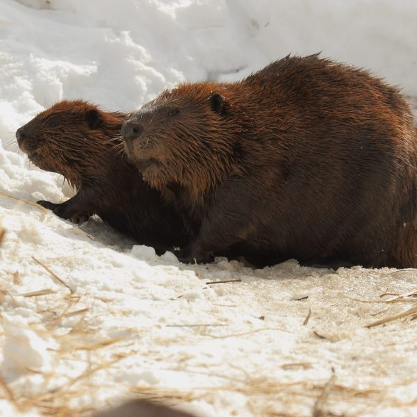 The Beaver-mom and offspring