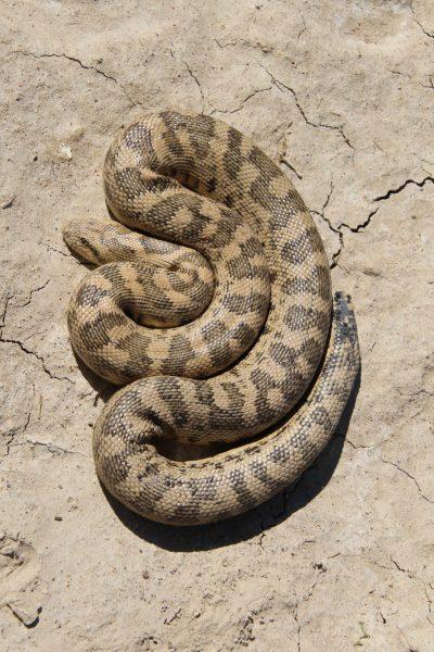 The Tartar Sand Boa is larger than desert sand boa.