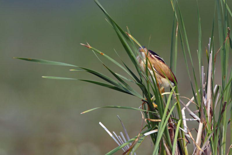 Hidden in the reeds