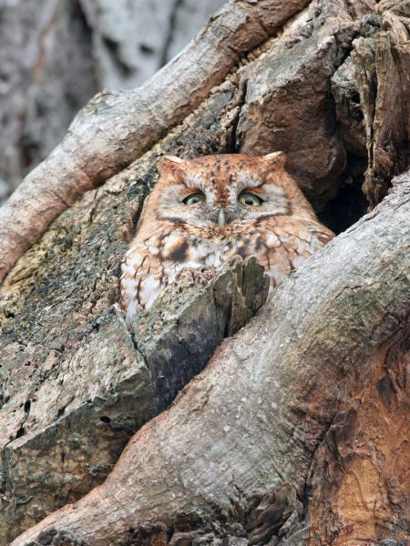 There are two color forms of eastern screech owl in Ontario