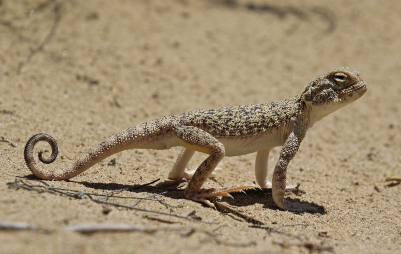 This is the biggest toad-headed agama in Central Asia
