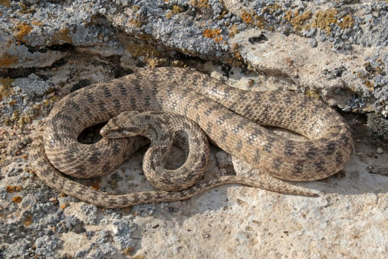 This large racer hunts on rodents, living in the desert
