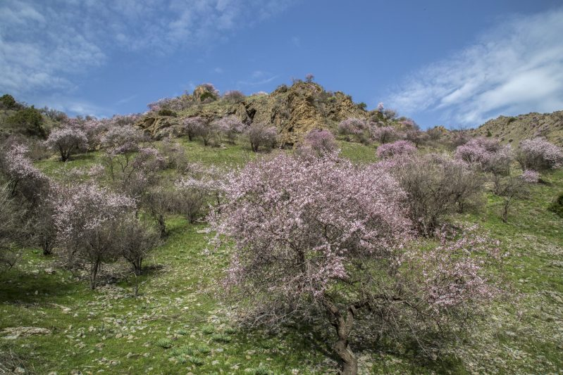 Spring in mountains is often associated with blooming almond