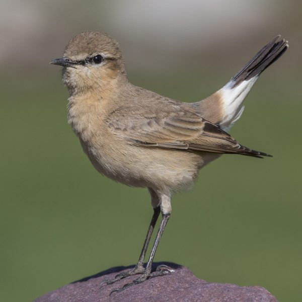 Isabelline wheatear in a guardian pose