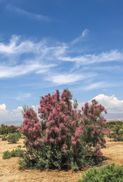 Tamarix survives in the harsh desert conditions on salty soils