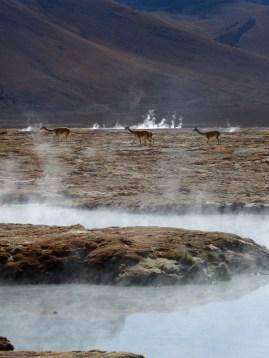 Vicuñas gehen baden (Aguas Caliente de Polloquere)