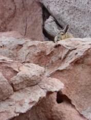 Vizcacha - Hase mit Ringelschwanz
