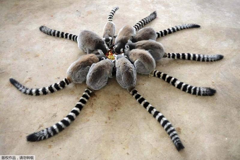 lemuris-de-cola-anillada