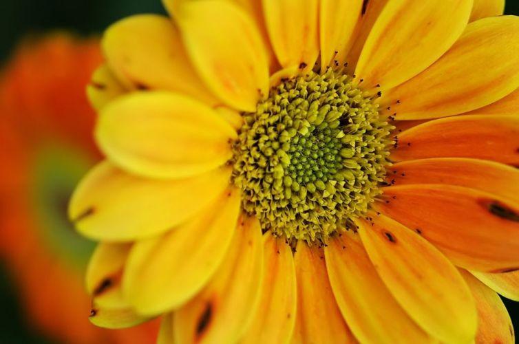 flores-gerberas-img269