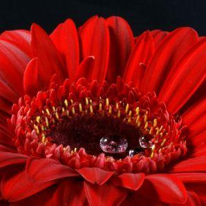 flores-gerberas-img322