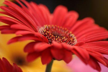 flores-gerberas-img507