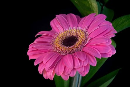 flores-gerberas-img511