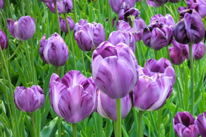 tulipanes-flores-imagen042