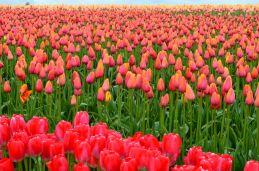 tulipanes-flores-imagen190