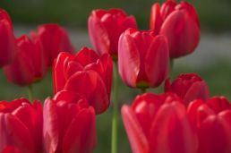 tulipanes-flores-imagen198