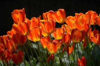 tulipanes-flores-imagen209