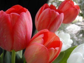 tulipanes-flores-imagen211
