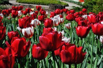 tulipanes-flores-imagen254