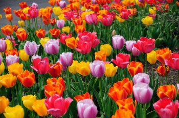 tulipanes-flores-imagen343