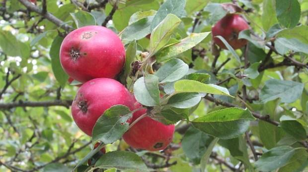 Æblerne er i centrum denne weekend på Tuse Næs. Foto: Rolf Larsen.