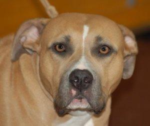 En hund af racen American Staffordshire Terrier bed en 83-årig mand. Arkiv foto: Lilly M.