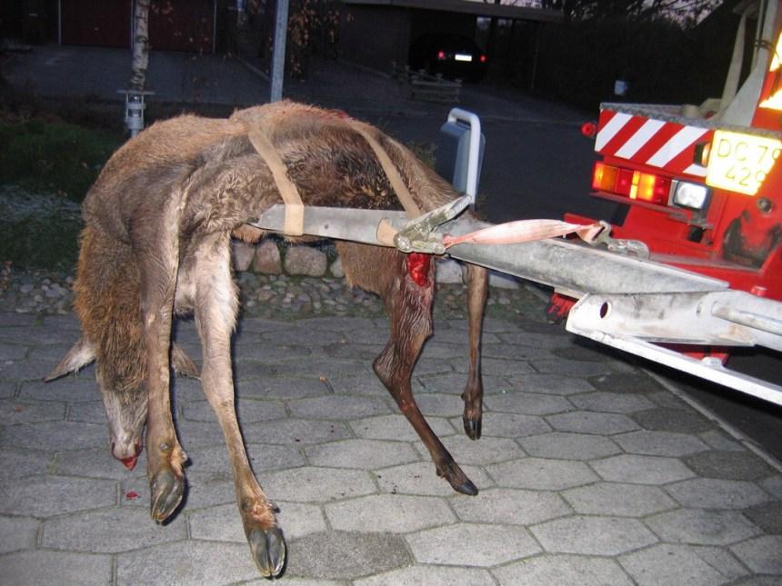Trafikdræbt hjort