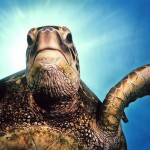 Sea Turtle Image by Roy Niswanger