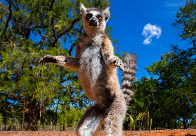 Madagaszkár a lemúrszar nélkül pusztulásnak indulna