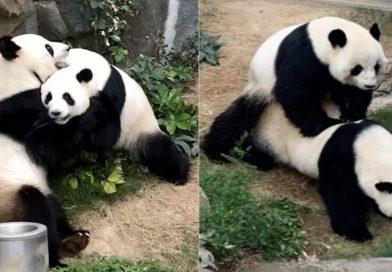Pandanász az avaron