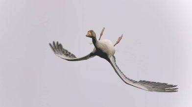 Háton szárnyaló vadlibát fotóztak