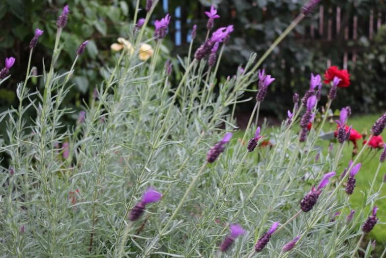 lavender-out-back