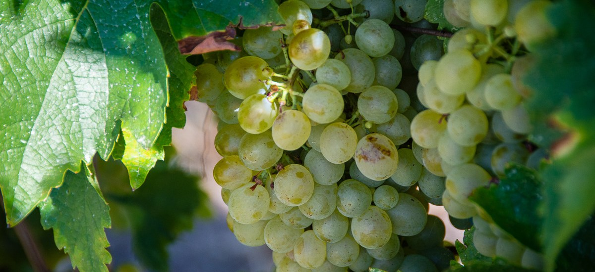 Organic French Wine of Gaillac: The Plateau Cordais