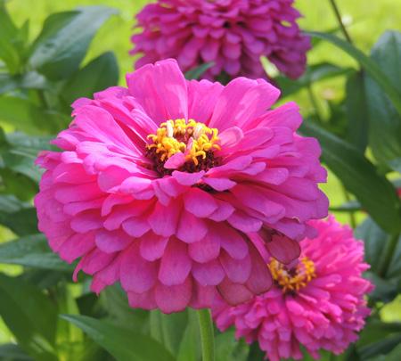 plant, flower, day, zinnia, fllowers, garden